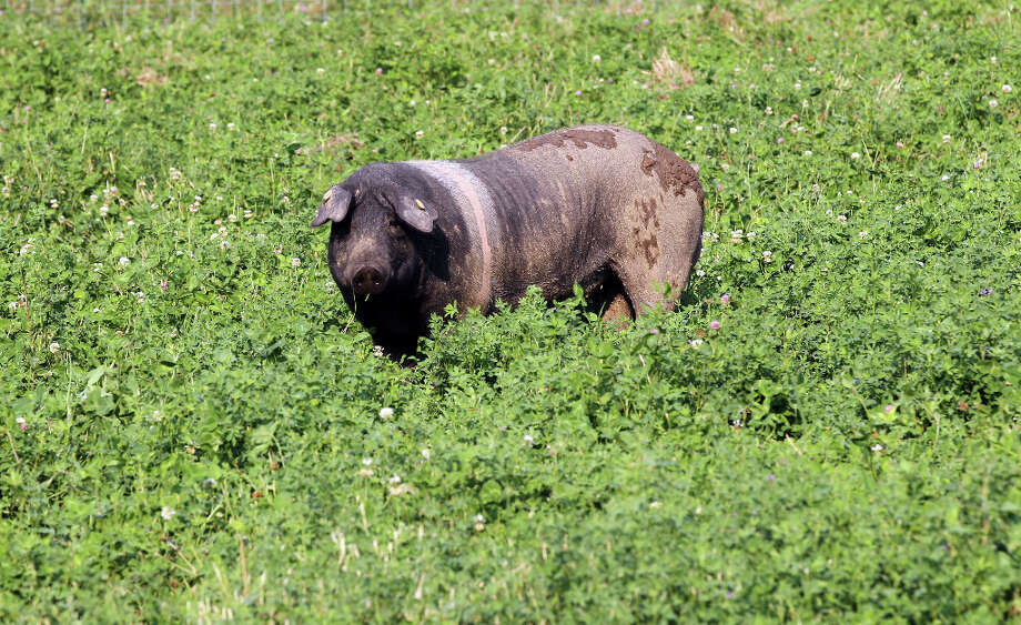 A male Cinta Senese pig walks through a field of clover Photo: Lance Iversen, The Chronicle / ONLINE_YES