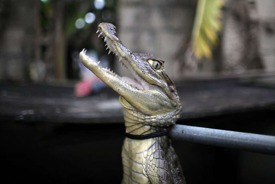 Caimans' island:A noose immobilizes a caiman at the home of Daniel Montanez in the Los Naranjos neighborhood of Vega Baja, Puerto Rico. Caimans, native to Central and South America, were introduced to Puerto Rico in the '60s and '70s by stores such as Woolworth's that sold lizard-sized juveniles of the species. When they grew up, people released them into the wild, where they rapidly reproduced (a female can lay up to 40 eggs at a time). Now, they're all over the island. Photo: Ricardo Arduengo, Associated Press