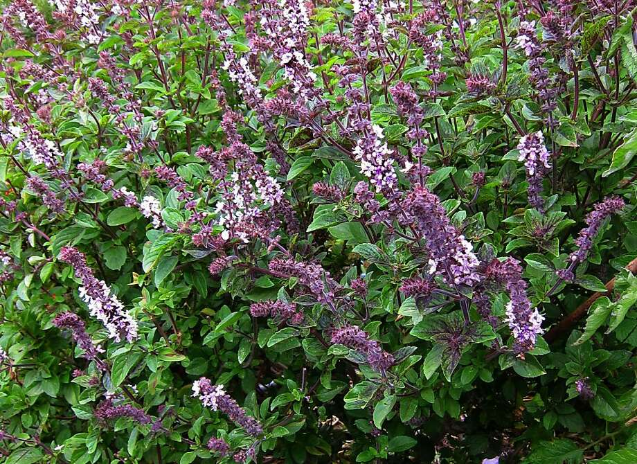 By fall, African blue basil can be a bushy 5 feet tall. Prune now for a final harvest; prune again in spring to remove dead wood. Photo: Pam Peirce