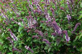 By early fall, African blue basil can be a bushy 5 feet tall. Prune now for a final harvest, prune again in spring to remove dead wood.