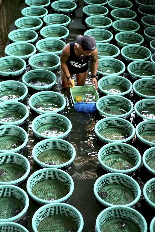 Balinese volunteer Made Waga cleans baby sea turtle baskets at the breeding area of Turtle Park in Serangan, Denpasar, Bali, Indonesia, Monday, Dec. 10, 2012. Sea turtles in Indonesia have long suffered from poaching for their meat, fat, shells and eggs.(AP Photo/Firdia Lisnawati) Photo: Firdia Lisnawati, Associated Press