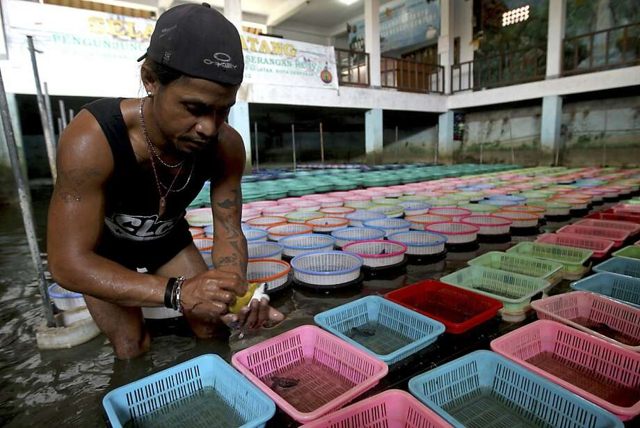 Balinese volunteer Made Waga, cleans a baby sea turtle at the breeding area of Turtle Park in Serangan, Denpasar, Bali, Indonesia, Monday, Dec. 10, 2012. Sea turtles in Indonesia have long suffered from poaching for their meat, fat, shells and eggs.(AP Photo/Firdia Lisnawati) Photo: Firdia Lisnawati, Associated Press