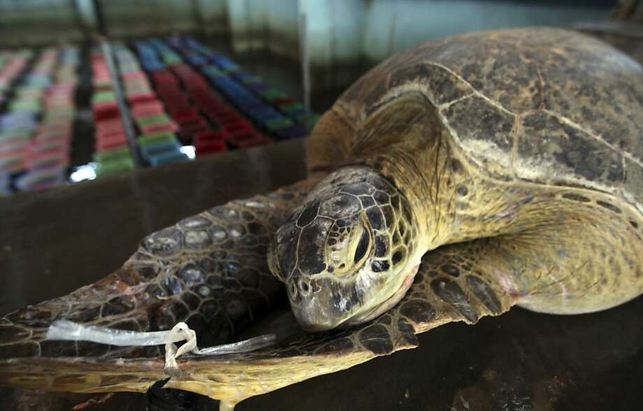 A wounded giant sea turtle receives care after it was seized from poachers, at Turtle Park in Serangan, Denpasar, Bali, Indonesia, Monday, Dec. 10, 2012. Balinese police seized a total of thirty-three illegal sea turtles.(AP Photo/Firdia Lisnawati) Photo: Firdia Lisnawati, Associated Press