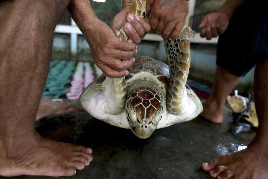 Balinese volunteers help a giant sea turtle into a pool after it was seized from poachers, at Turtle Park in Serangan, Denpasar, Bali, Indonesia, Monday, Dec. 10, 2012. Balinese police seized a total of thirty-three illegal sea turtles.  (AP Photo/Firdia Lisnawati) Photo: Firdia Lisnawati, Associated Press