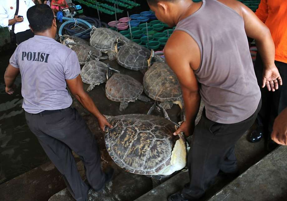 Indonesian marine police move a rescued green turtle (Chelonia mydas) in Denpasar on Bali island on December 10, 2012. Indonesian marine police seized 33 green turtles from a traditional boat at a water sports area in Tanjung Benoa early on December 10. Indonesia, home to important migration routes at the crossroads of the Pacific and Indian Oceans, is home to six out of seven of the world's turtle species. AFP PHOTO / SONNY TUMBELAKASONNY TUMBELAKA/AFP/Getty Images Photo: Sonny Tumbelaka, AFP/Getty Images