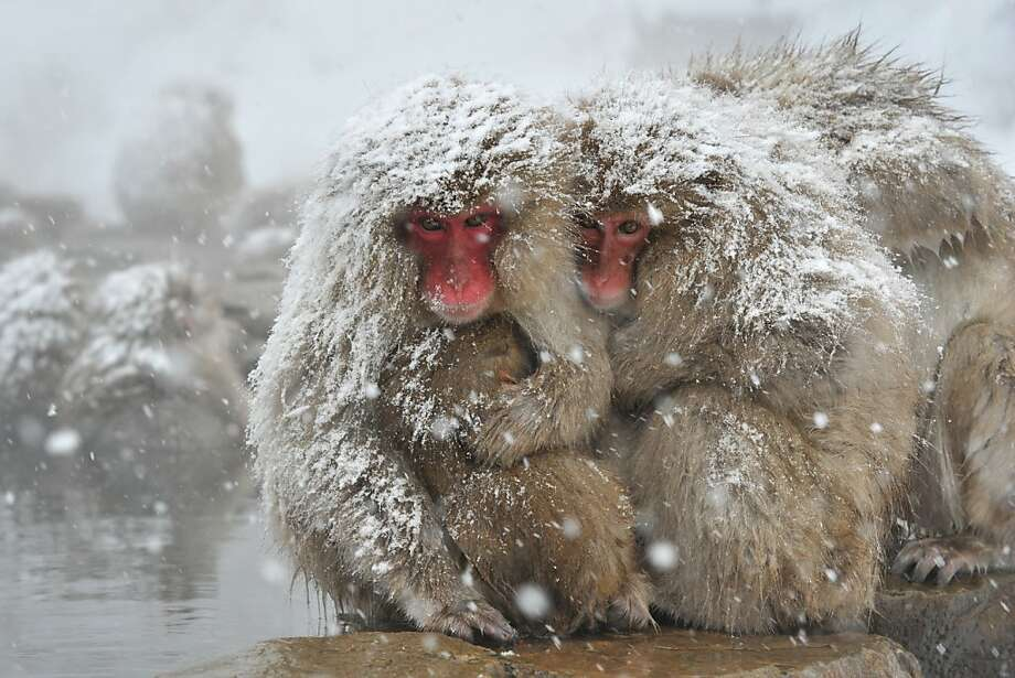 "Japanese macaque, commonly referred to as ""snow monkeys"", react next to an open-air hot spring bath, or ""onsen"" at the Jigokudani (Hell's Valley) Monkey Park in the town of Yamanouchi, Nagano prefecture on December 10, 2012. Some 160 of the monkeys inhabit the area and are a popular tourist draw.  .AFP PHOTO / KAZUHIRO NOGIKAZUHIRO NOGI/AFP/Getty Images Photo: Kazuhiro Nogi, AFP/Getty Images"