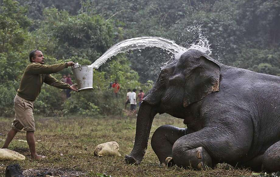 An Indian forest official throws water on an injured wild elephant to clean it after it was attacked by poachers a number of days ago at the foothills of Pancharatna hills in Goalpara district of lower Assam, India, Monday, Dec. 10, 2012. The poachers cut off two tusks and the tail of the elephant, who is now expected to survive, according to local animal officials. (AP Photo/Anupam Nath) Photo: Anupam Nath, Associated Press