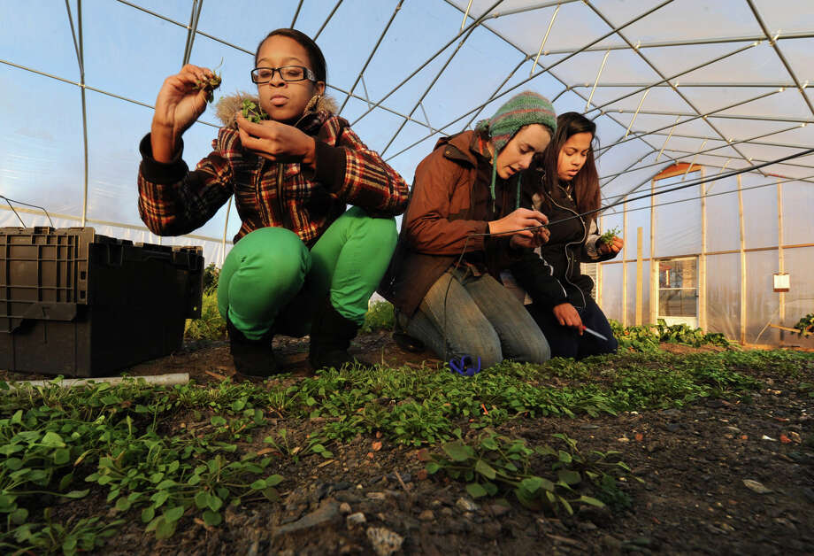 Hannah Savio, middle, a farmer from Capital District Community Gardens, shows students Taliah Tillman, 16, left, and Denise Delvalle, 17, both of Troy, how to harvest Claytonia or Miner's Lettuce as they work in the Produce Project urban farm on Thursday Dec. 6, 2012, in Troy, N.Y.  (Lori Van Buren / Times Union) Photo: Lori Van Buren