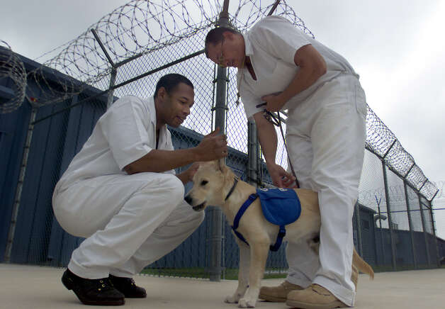 Dominguez State Prison offenders Hamilton Webb (left) and Chris Greene work with guide dog in training, Smithy, outside one of the prison recreation areas. Through a program from the Guide Dogs of Texas, offenders get to train the dogs that will eventually go to help vision-impaired people. Photo: Kin Man Hui, San Antonio Express-News / en