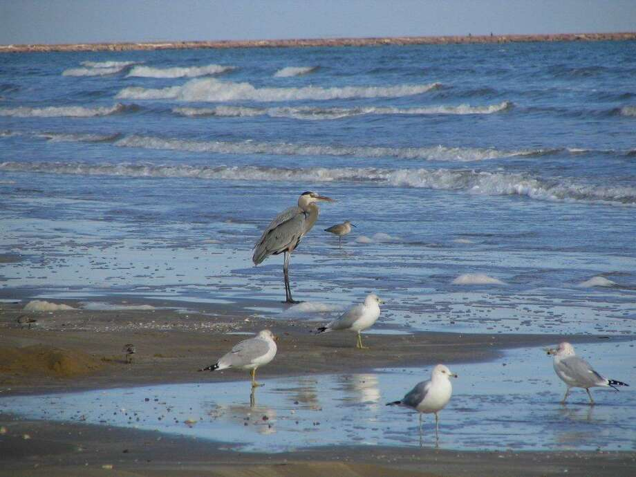 Previous Christmas Bird Counts at Freeport have recorded beach birds at the Quintana jetty, including Great Blue Heron, ring-billed gulls and willet.