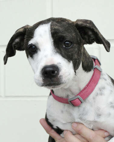 Pit bull mix Macy would love to find a loving family for Christmas. Photo: Animal Defense League Of Texas