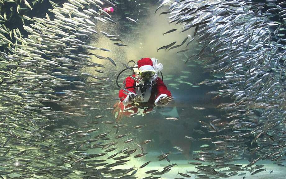 School lunch:A Scuba Santa manages to both feed and alarm the sardines of the Coex Aquarium in Seoul at the same time. Photo: Ahn Young-joon, Associated Press