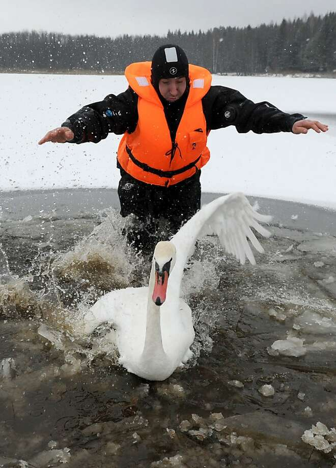 Christian Scientist, no doubt: In a lake near Shvaby, Belarus, a government rescue diver tries to catch a sick swan so it can treated at an animal hospital, but the bird refuses to cooperate. Photo: Viktor Drachev, AFP/Getty Images
