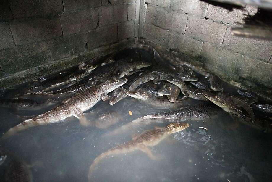 Have you seen our backyard pool?A holding tank of the Montanez family home in Vega Baja, Puerto Rico, contains captured caimans. The family slaughters the invasive animals and sells the meat for human consumption. Photo: Ricardo Arduengo, Associated Press