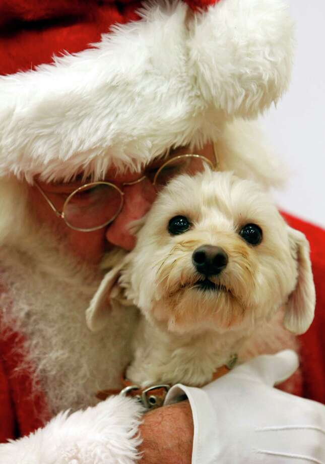 This Dec. 1, 2012 photo provided by PetSmart shows Bentley being held by Santa Claus for a photo at the PetSmart Santa Claws photo event in Fort Worth, Texas. A holiday present for Fido or Fluffy used to be an extra table scrap or a new squeeze toy. But as with gifts for their human counterparts, pet presents are becoming increasingly high-tech. Photo: Richard W. Rodriguez, Associated Press / PetSmart