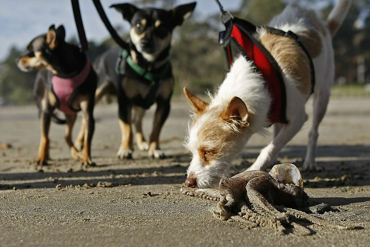A curios dog inspects the tentacles of a Humboldt Squid carcass on December 11, 2012 at Rio Del Mar Beach in Aptos, Calif. Hundreds of the large squid washed up on shore recently in Santa Cruz County.