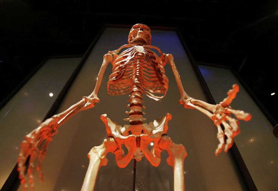 A couple of 12-pairs in the body. The human body has 12 pairs of ribs and 12 pairs of cranial nerves.Photo: A human skeleton is displayed at the Hall of Human Origins of the American Museum of Natural History, Feb. 6, 2007 in New York. Photo: Dima Gavrysh, Associated Press / 2007 AP
