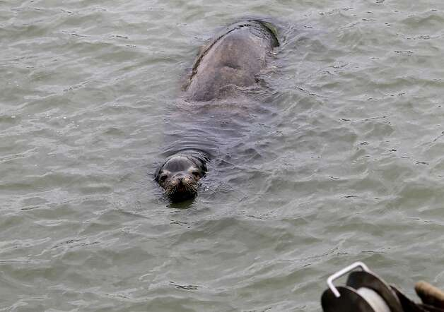 A hungry sea lion watched crabbers load bait onto their boats before retrieving their crab pots. Crabbers will be returning to their pots tonight and fresh crab should arrive at Fisherman's Wharf Wednesday as a new deal was reached paying $3 a pound just in time for Christmas. Photo: Brant Ward, The Chronicle