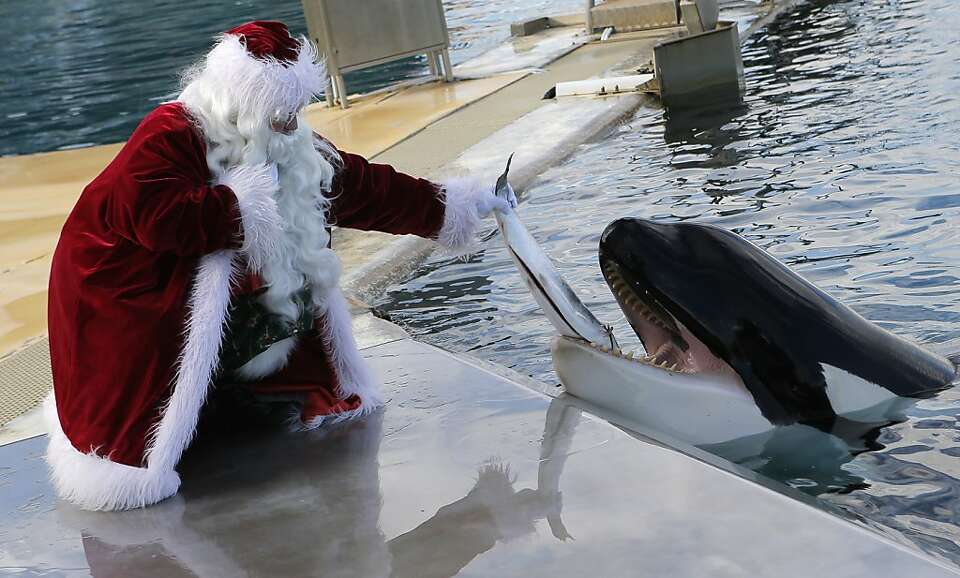 Instead of candy canes, good little killer whales in France get fresh cod. (Marineland in Antibes.)