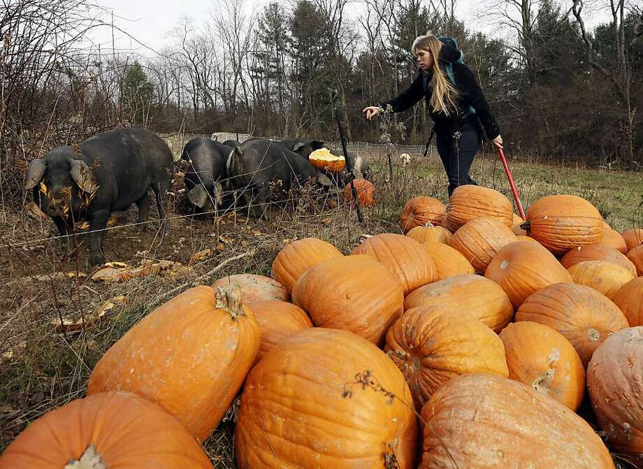 Pigs get fed pumpkins in New Lebanon, N.Y. There has been progress toward allowing imports of live pigs from the United States to the European Union. Photo: Mike Groll, Associated Press