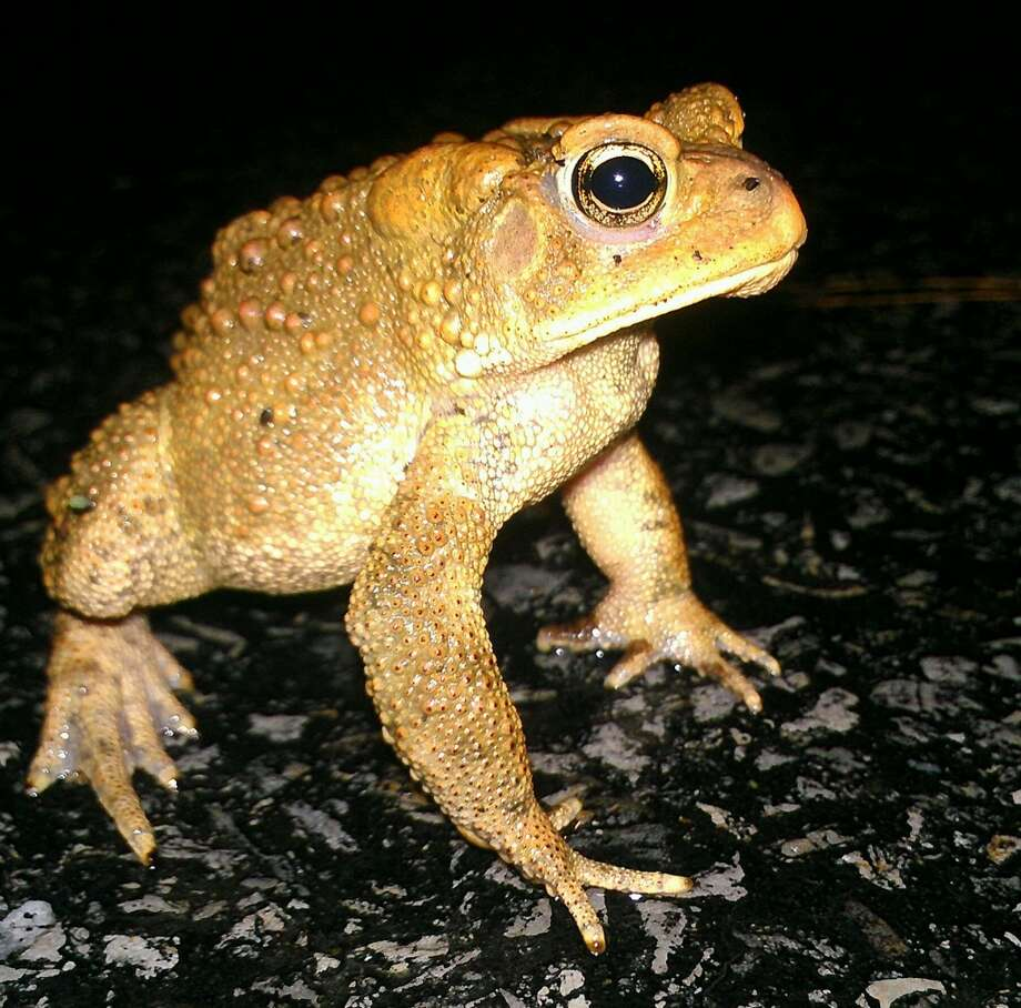 "Kenny Barnett, Best Animal Shot for ""American Toad on Scout Road."""