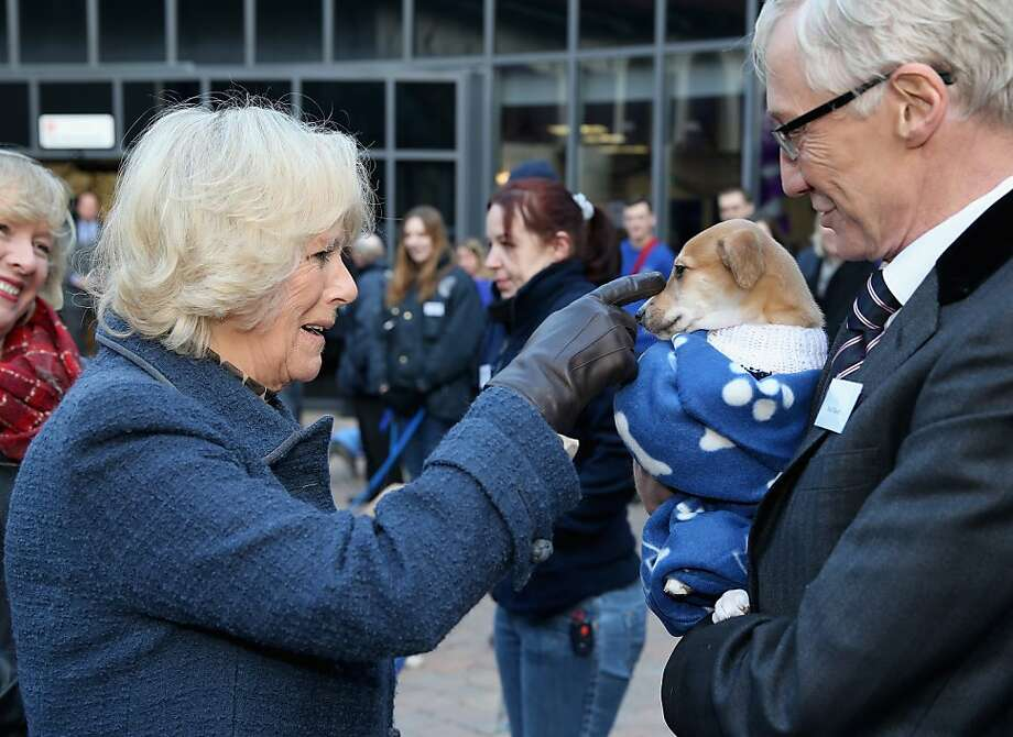 Tickle, tickle: Camilla, Duchess of Cornwall, strokes Mince Pie's muzzle at Battersea Dog and Cats Home in London. Holding Mince Pie is comedian Paul O'Grady. The Duchess of Cornwall has long been a patron of Battersea and owns two Jack Russell terriers rescued by the shelter. Photo: Chris Jackson, Getty Images