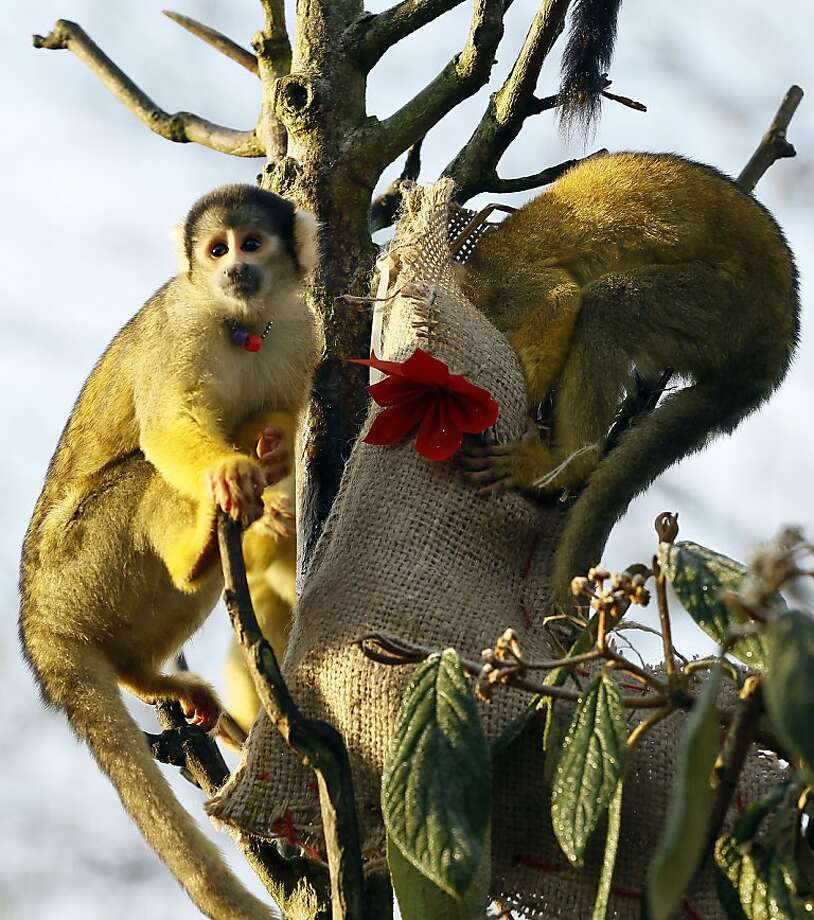 Stocking stuffer:The squirrel monkeys at the London Zoo aren't waiting until Christmas to see what Santa put in their festive burlap stockings. Photo: Kirsty Wigglesworth, Associated Press