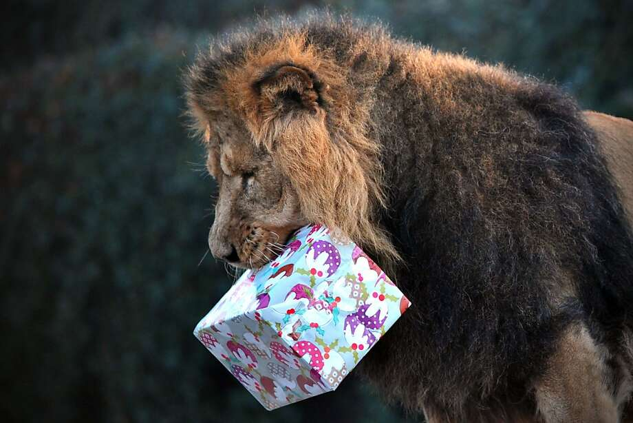 Box o' meat, perhaps?Lucifer shakes his gift to see if he can guess what it is. (London Zoo.) Photo: Carl Court, AFP/Getty Images