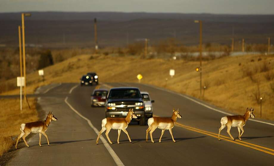 Pardon our roaming: The antelopes of Casper, Wyo., are notorious jaywalkers. Photo: Dan Cepeda, Associated Press