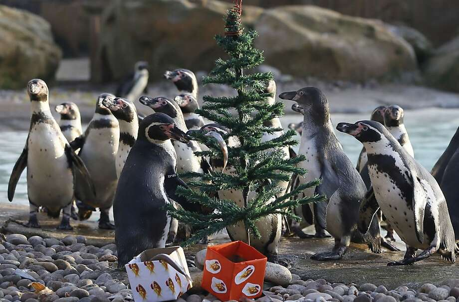 Who doesn't want to find fresh smelt heads under the tree? The penguins' Christmas tree at the London Zoo makes up for what it lacks in trim with boxes of fish parts. Photo: Kirsty Wigglesworth, Associated Press