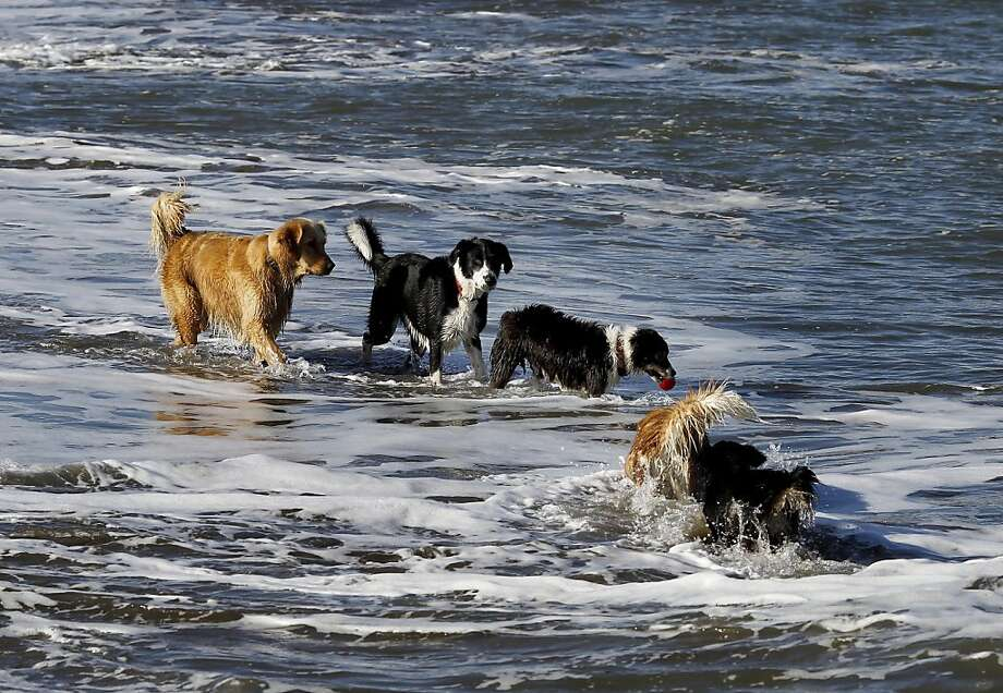 Dogs played in the high tide waters at East Beach in San Francisco, Calif. as half the beach was covered with water. King tides in the Bay Area caused some flooding in Marin County Wednesday December 12, 2012 and many beaches were partially covered. Photo: Brant Ward, The Chronicle
