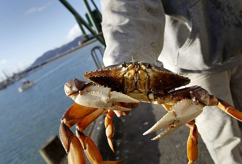 A dock worker held a large Dungeness crab just arriving at Fisherman's Wharf. The first Dungeness crabs, since the strike was settled, arrived on the docks of Fisherman's Wharf Wednesday December 12, 2012 in San Francisco, Calif. Photo: Brant Ward, The Chronicle