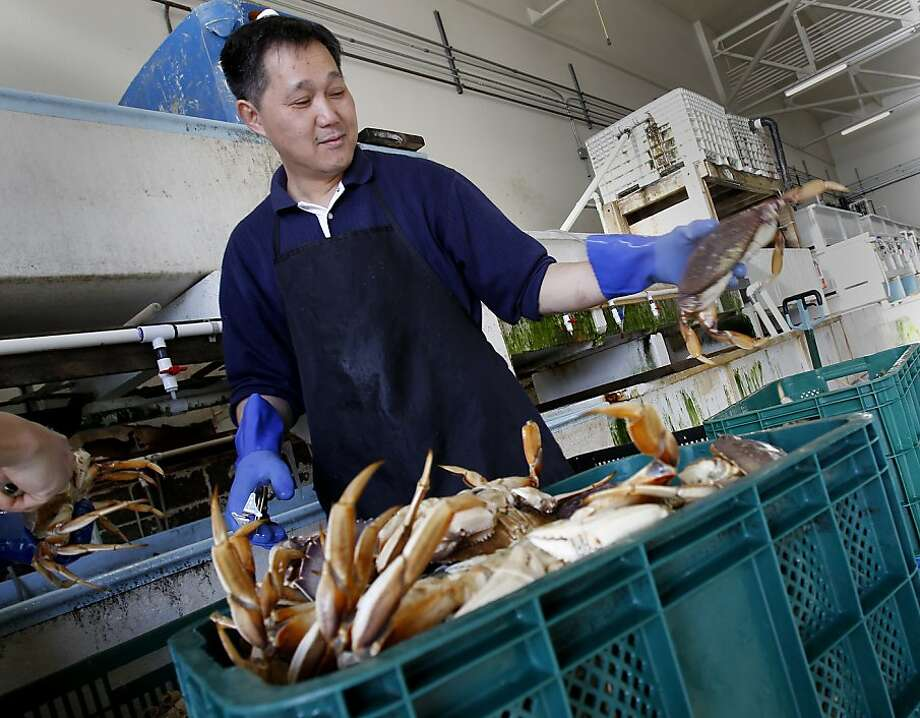 Crab processors immediately put the crabs in large salt water tanks next to the dock. The first Dungeness crabs, since the strike was settled, arrived on the docks of Fisherman's Wharf Wednesday December 12, 2012 in San Francisco, Calif. Photo: Brant Ward, The Chronicle