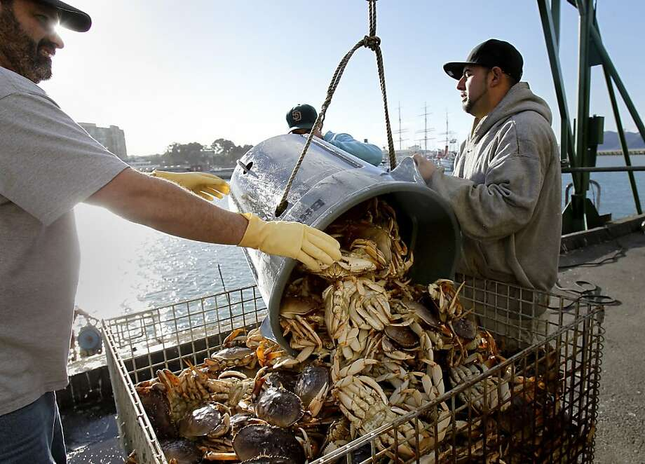 "The first crabs off the boats were called ""lively"" by one observer, after the crabs had spent at least two weeks in the pots during the strike. The first Dungeness crabs, since the strike was settled, arrived on the docks of Fisherman's Wharf Wednesday December 12, 2012 in San Francisco, Calif. Photo: Brant Ward, The Chronicle"