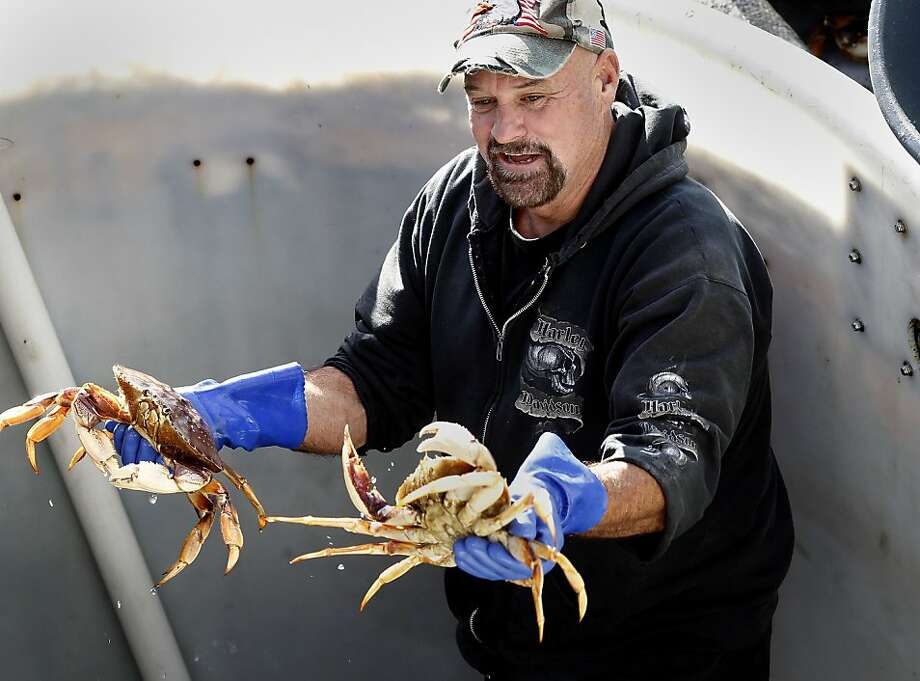 Crabber Bobby Cicala examined some of the first crabs to reach the docks. The first Dungeness crabs, since the strike was settled, arrived on the docks of Fisherman's Wharf Wednesday December 12, 2012 in San Francisco, Calif. Photo: Brant Ward, The Chronicle