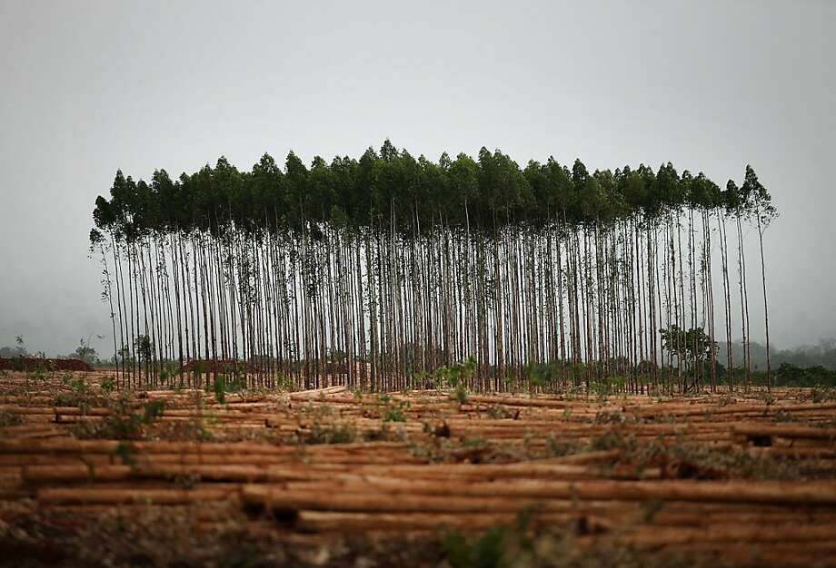 7 year old eucalyptus trees stand before being harvested on a farm leased by Eldorado Celulose e Papel S.A in Andradina, Brazil, on Tuesday, Dec. 11, 2012. Eldorado Celulose e Papel S.A is finishing construction on a pulp processing plant that is expected to be one of the the world's largest single-line pulp plants when it reaches peak production. Photographer: Dado Galdieri/Bloomberg Photo: Dado Galdieri, Bloomberg