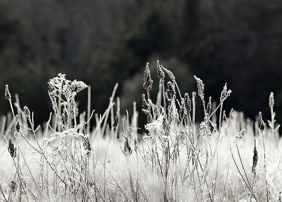 After a cold night, frost covers plants in a field in Forestburgh  in the morning of Wednesday, Dec. 12, 2012.   (AP Photo/Times Herald-Record, Tom Bushey) Photo: Tom Bushey, Associated Press
