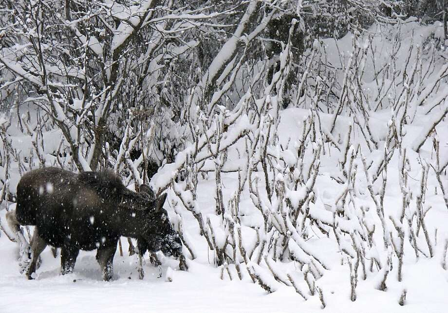 A moose grazes along the roadway leading into Kincaid Park in Anchorage, Alaska, on Wednesday, Dec. 12, 2012. Anchorage residents woke Wednesday to a storm that dropped up to 9 inches on Alaska's largest city. (AP Photo/Mark Thiessen) Photo: Mark Thiessen, Associated Press