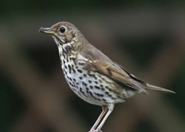 Answer 15b. The thrush knocking it on the stoneThrush image via http://www.tolkiensociety.org/ed/the_hobbit.html