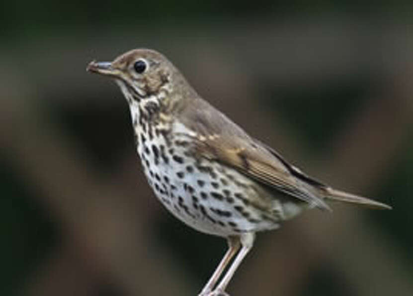 Answer 15b. The thrush knocking it on the stoneThrush image via
