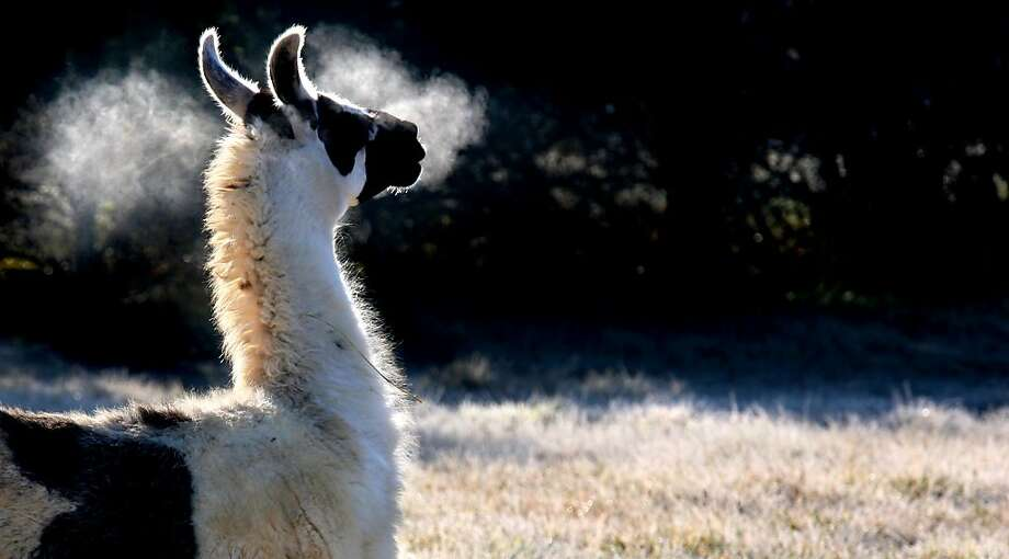 It's freezingin Boyce, Va. Better put on your alpaca sweater. Photo: Associated Press