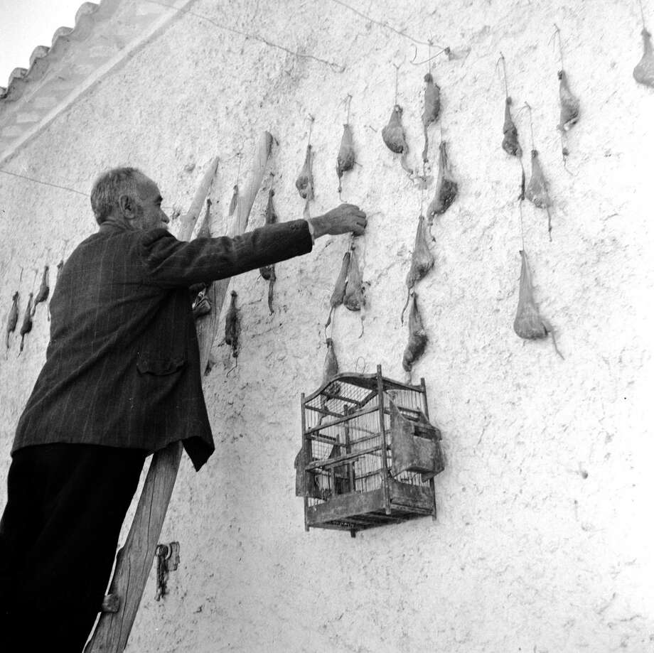 A native of Attica, Greece hangs up sheep glands on a wall, part of preparation for use in helping fermentation when making cheese, circa 1947. A bird cage hangs on the wall beneath. Photo: Evans, Getty Images / Hulton Archive