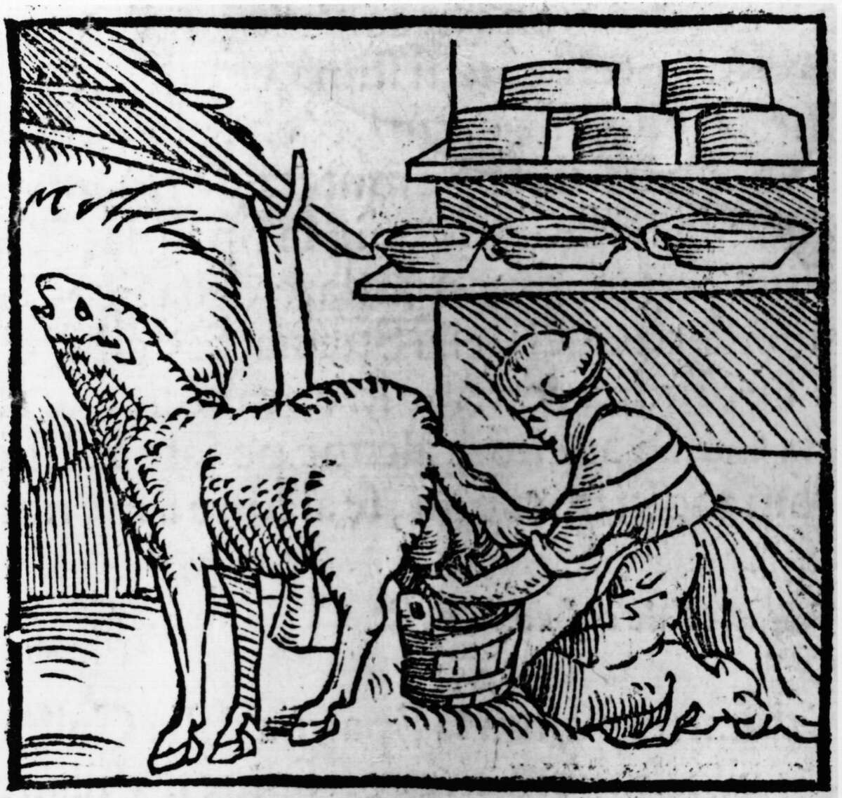 A woman milks a sheep with cheeses stored on nearby shelves in this woodcut from 1549.