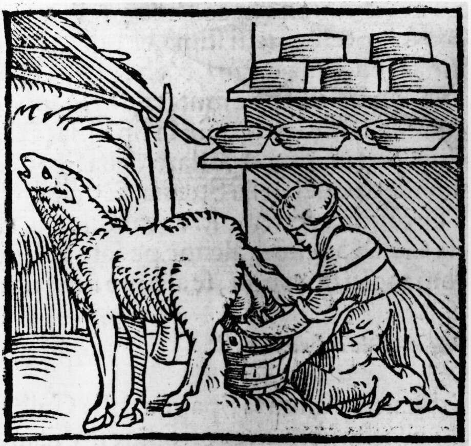 A woman milks a sheep with cheeses stored on nearby shelves in this woodcut from 1549. Photo: Hulton Archive, Getty Images / Hulton Archive