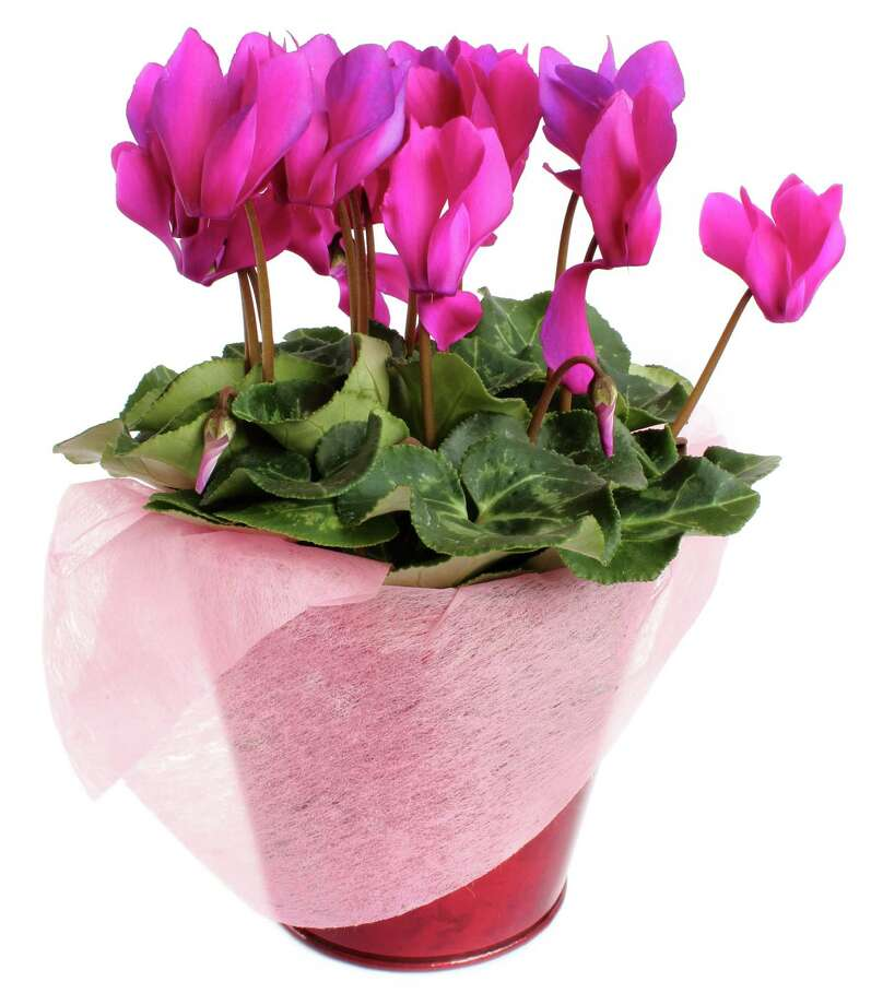 Cyclamen offers a brush of color for the holidays. (Fotolia.com) Photo: Aygul Bulte / Aygul Bulté - Fotolia