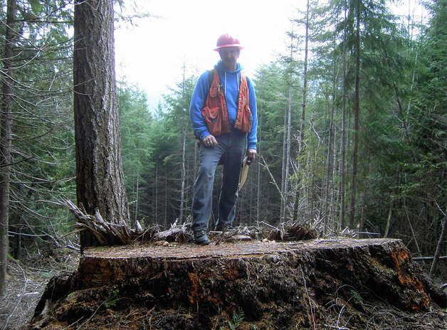 An investigator stands atop the stump of an old-growth tree felled illegally in Olympic National Forest by timber thief Reid Johnston. Photo: U.S. Attorney's Office For The Western District Of Washington