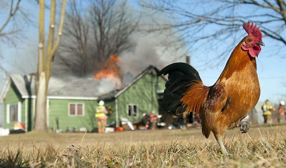 A rooster keeps his distance as firefighters from several departments battle a house fire in Taymouth Township, Mich. Wednesday afternoon, Dec. 13, 2012. Fire departments from Taymouth Township, Maple Grove Township, Albee Township and Birch Run responded to the scene about 1 p.m. They had to truck water in by tanker to fight the fire. Photo: Jeff Schrier, Associated Press