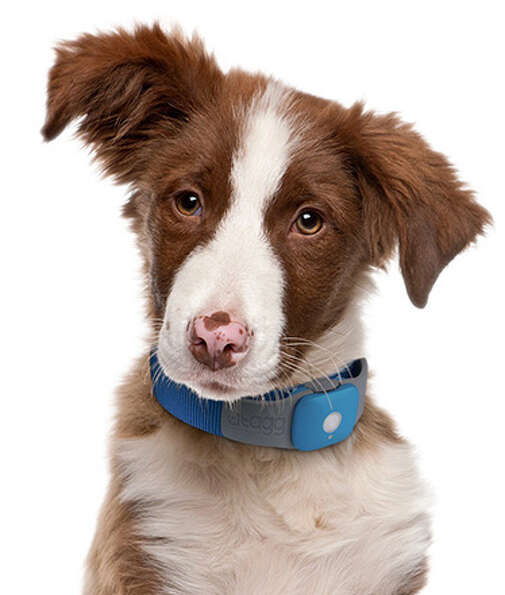 Tagg GPS Pet TrackerEven if your folks' dog isn't the type to
