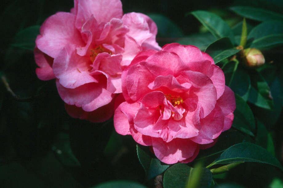 'Shishi Gashira' camellia Photo: Norman Winter