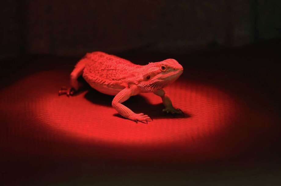 NEW YORK, NY - DECEMBER 12:  A bearded dragon waits under a heat lamp before receiving an ultrasound test for pregnancy at the Animal Medical Center on December 12, 2012 in New York City. The non-profit Animal Medical Center, established in 1910, has 80 veterinarians in 17 specialty services that treat up to 40,000 animal visits annually. Clients bring in their pets from around the country and world to the teaching hospital on Manhattan's Upper East Side for specialized high tech treatment. The American Pet Products Association estimates that Americans would spend more than $50 billion on their pets in 2012, $14 billion of that in veterinary care alone. Photo: John Moore, Getty Images / 2012 Getty Images